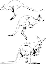 Jumping Kangaroo Drawn In Ink By Hand On A White Background Logo