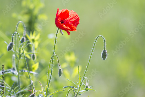Keuken foto achterwand Poppy Close-up of tender blooming lit by summer sun one red wild poppy and undiluted flower buds on high stems on blurred bright green summer background. Beauty and tenderness of nature concept.