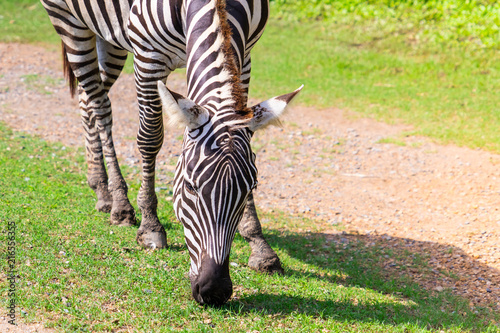 Foto op Plexiglas Zebra Zebra head eating grass on the ground