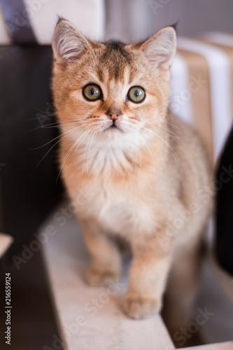 Fototapety, obrazy: Scottish kitten posing Photo