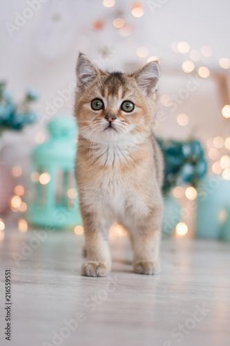 Fotografija scottish kitten british cat munchkin