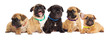 litter of puppies, French bulldog