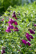 Penstemon mexicali cultivar red rocks flowers, purple ornamental bell flowering small plant