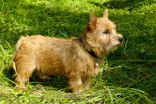 Norwich Terrier Puppy In The Grass In Summer Outdoor Background