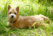 Norwich Terrier Puppy In The G...