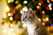 Large Gray Cat Without Breed With Blue Eyes Near The Christmas Tree With Garlands