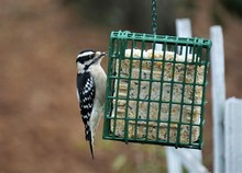A Female Hairy Woodpecker Perching On The Suet Feeder Enjoy Eating And Resting On The Blurry Garden Background, Winter In GA USA.