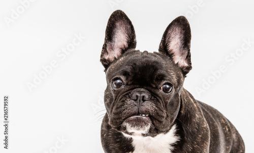Foto op Plexiglas Franse bulldog French bulldog isolated