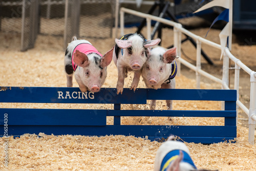 Three adorable pigs hurdling together over race track hurdle obstacle.
