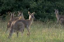Wallabies Feeding In Grass Field