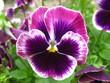 Цветы Виола