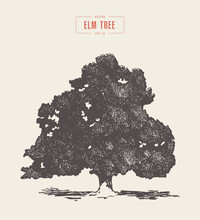 High Detail Vintage Elm Tree Drawn, Vector