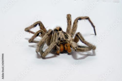 Plakat pająk