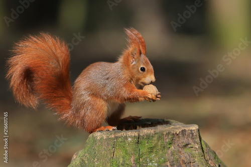 Tuinposter Eekhoorn Art view on wild nature. Cute red squirrel with long pointed ears in autumn scene . Wildlife in November forest. Squirrel sitting on the stump with a nut.