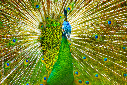 Fotobehang Pauw Peacock With Beautiful Feathers