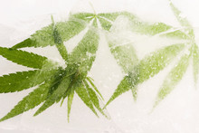 Cannabis Leaf Frozen In Ice Wi...