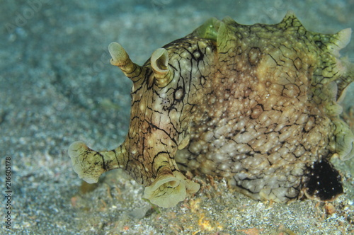 Front detail of probably spotted (variable) sea hare Aplysia dactylomela on flat sandy bottom.