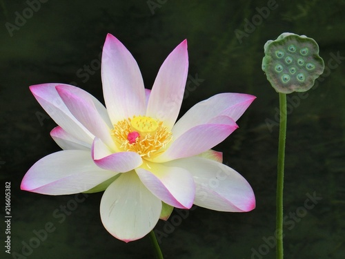 Foto op Canvas Lotusbloem ハスの花と花芯