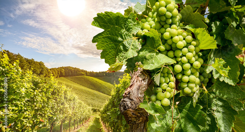 Photo sur Aluminium Vignoble Vines in a vineyard near a winery in the evening sun, White wine grapes before harvest