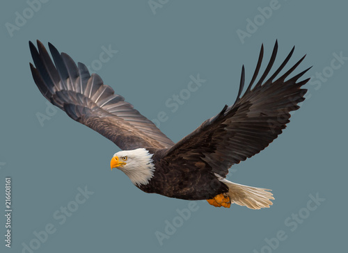Fototapeta The bald eagle in flight.
