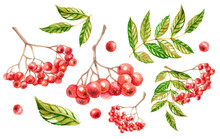 Rowan, Autumn Rowanberry, Watercolor Illustration Of Mountain Ash, Isolated Drawing Of Leaves And Red Berries