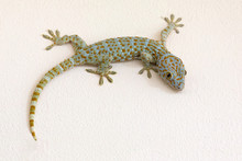 Colorful Patterns Of Gecko On Plaster Wall
