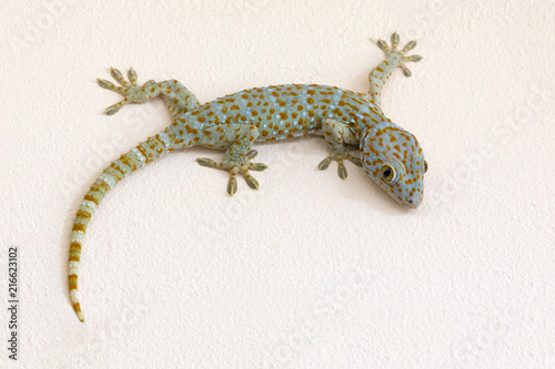 Fotografia Colorful patterns of gecko on plaster wall