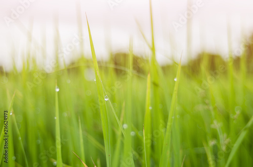 rice fram green background drop water and bamboo hut  #216624973