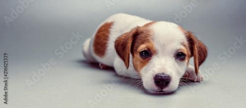 Fotografie, Obraz  Jack Russell Terrier puppy lying down