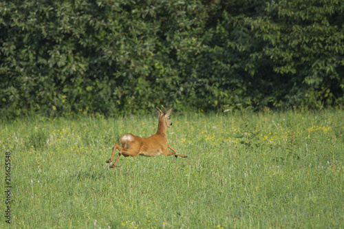 In de dag Ree a roebuck flees across the meadow in front of walkers with a dog