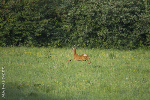 a roebuck flees across the meadow in front of walkers with a dog Wallpaper Mural