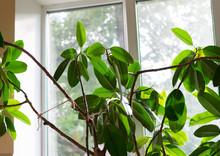 Big Ficus Rubber Close, Kitchen