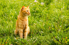 Ginger Cat Is Sitting On A Green Grass Background.