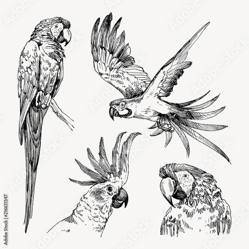 Fototapeta Set of hand drawn sketch black and white vintage exotic tropical bird parrot macaw and cockatoo