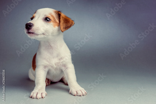 Stampa su Tela Jack Russell Terrier puppy on a silver background sitting