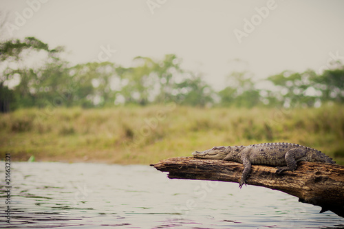 crocodile lying on trunk Wallpaper Mural
