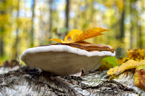 Fotografia, Obraz  Polypore grows on the trunk of tree in autumn forest