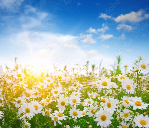 Szare   kwiaty-polne-stokrotki
