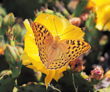 Butterfly Argynnis At The Cactus Blossom