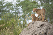 canvas print picture - A vertical, colour photo of two cheetah cubs, Acinonyx jubatus, resting on a termite mound in the Greater Kruger Transfrontier Park, South Africa.