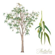 Eucalyptus Tree Vector Illustr...