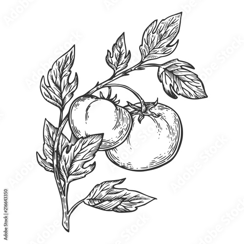 Obraz na płótnie Tomato engraving vector illustration