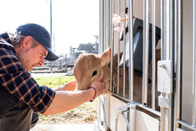 Dairy Farm Worker Checking Wellbeing Of His Calf