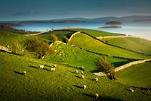 Sheep Grazing On Grassland, Lo...