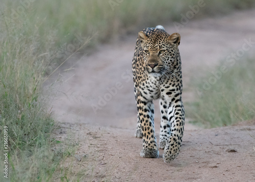 Spoed Foto op Canvas Luipaard Leopard on the lookout for prey