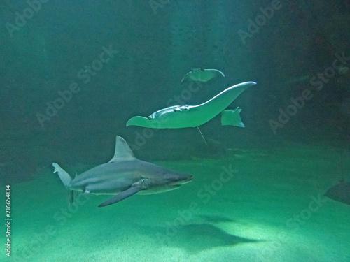 Raie manta et requin, Aquarium de Boulogne sur Mer