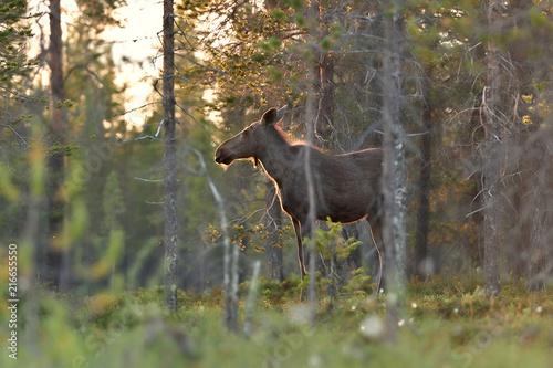 In de dag Noord Europa Moose in Lapland forest, Finland