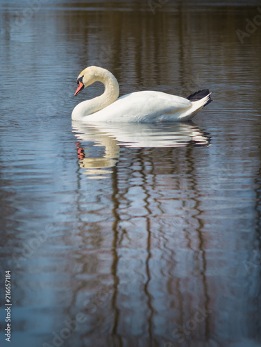 Foto op Canvas Zwaan white swan on the river.