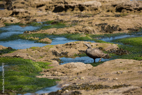 Common eider (Somateria mollissima) foraging at coast Canvas Print