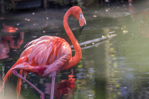 Fotobehang Flamingo Flamant rose - Phoenicopterus roseus - Greater Flamingo
